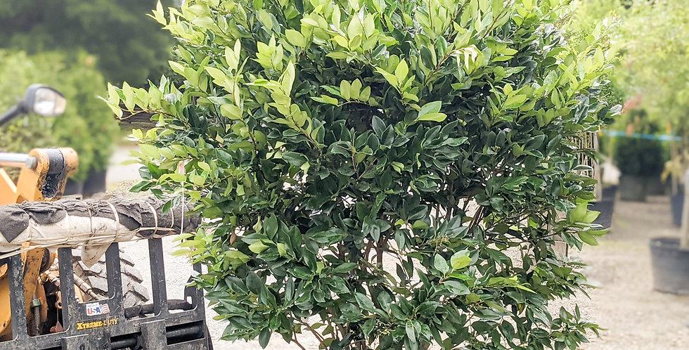 Waxleaf Privet - Ligustrum Japonicum Wax Leaf