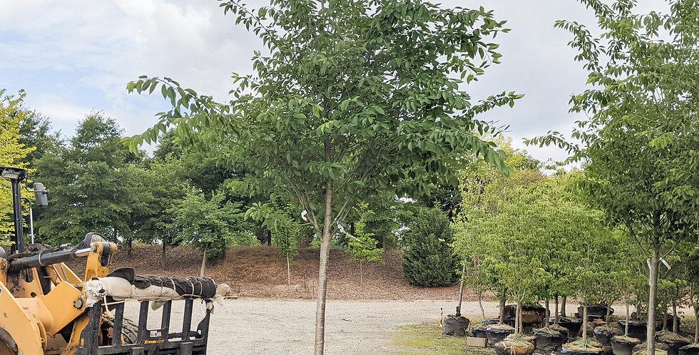 Yoshino Cherry -Prunus x yedoensis