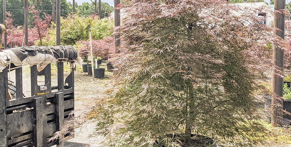 Inabe Shidari Japanese Maple •Acer palmatum var. dissectum 'Inaba Shidare'
