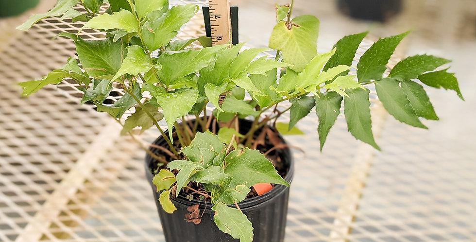 Japanese Holly Fern •Cyrtomium falcatum 'Rochfordianum'