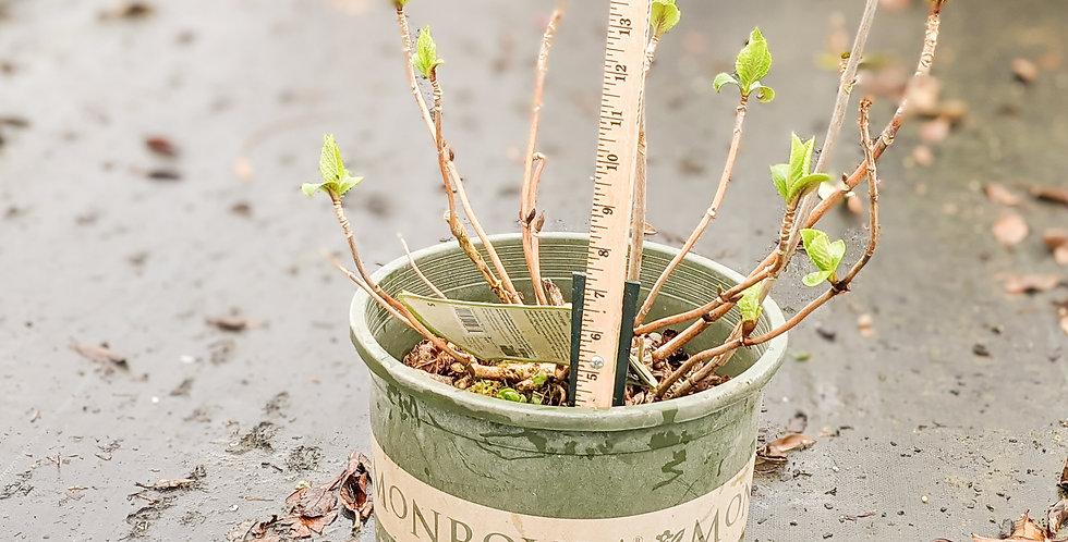Mini Penny Hydrangea • Hydrangea macrophylla 'Mini Penny'