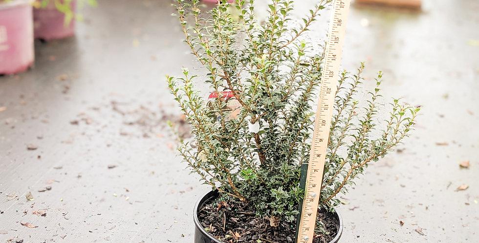 Fragrant Princess Holly Tea-Olive • Osmanthus fragrans