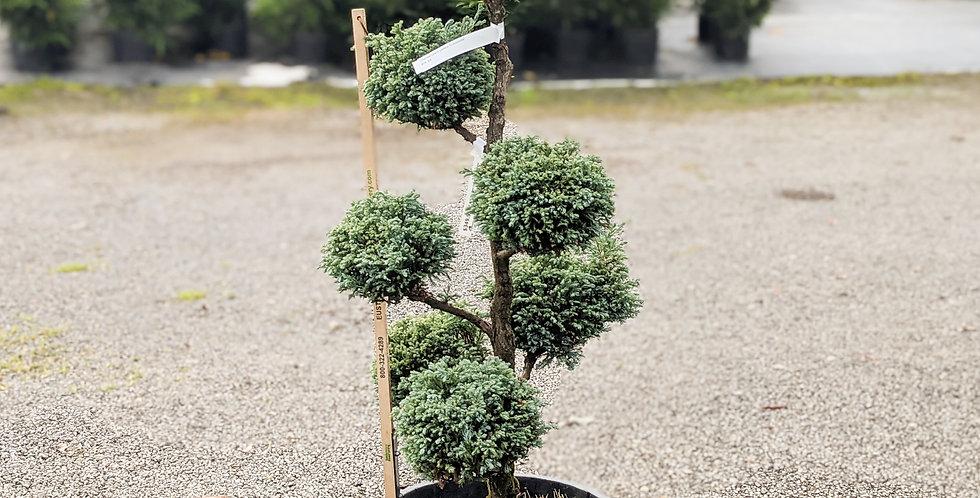 Cyano-Viridis Pom Pom Cypress •Chamaecyparis pisifera 'Cyano-Viridis'
