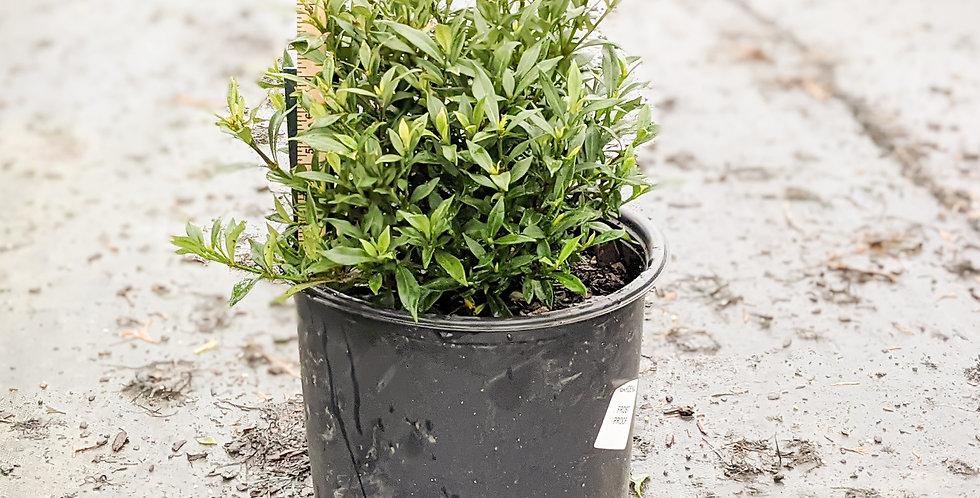 Frost Proof Gardenia • Gardenia jasminoides 'Frostproof'