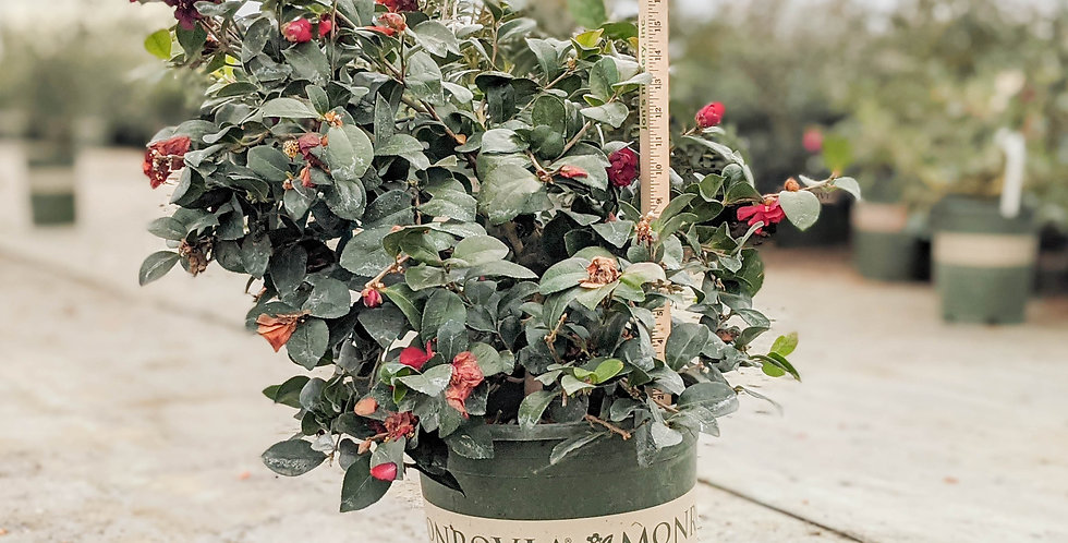 Bonanza Camellia • Camellia sasanqua 'Bonanza'