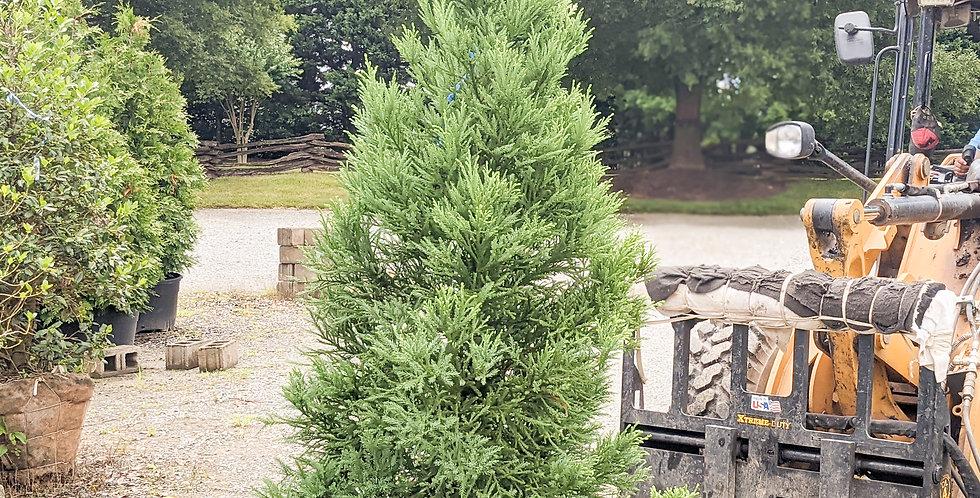 Japanese Cedar •Cryptomeria japonica 'Radicans'