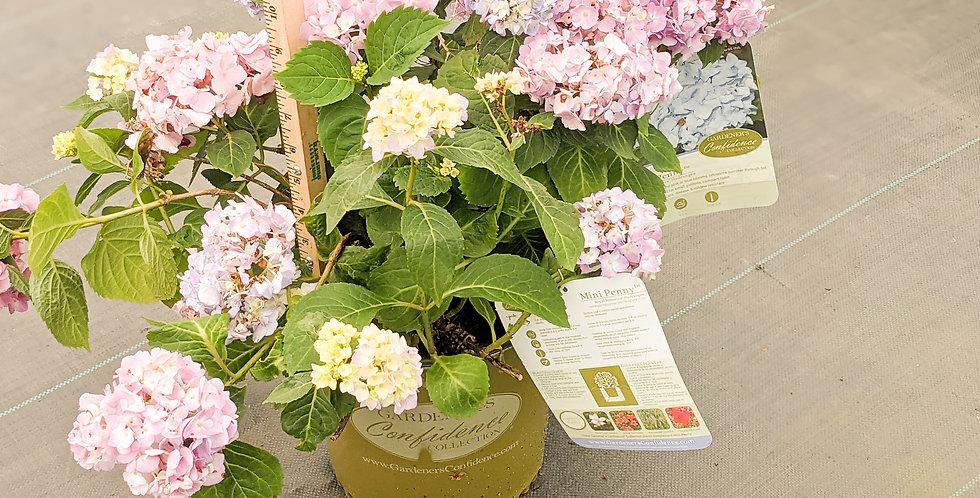 Mini Penny Hydrangea - Hydrangea macrophylla 'Mini Penny'