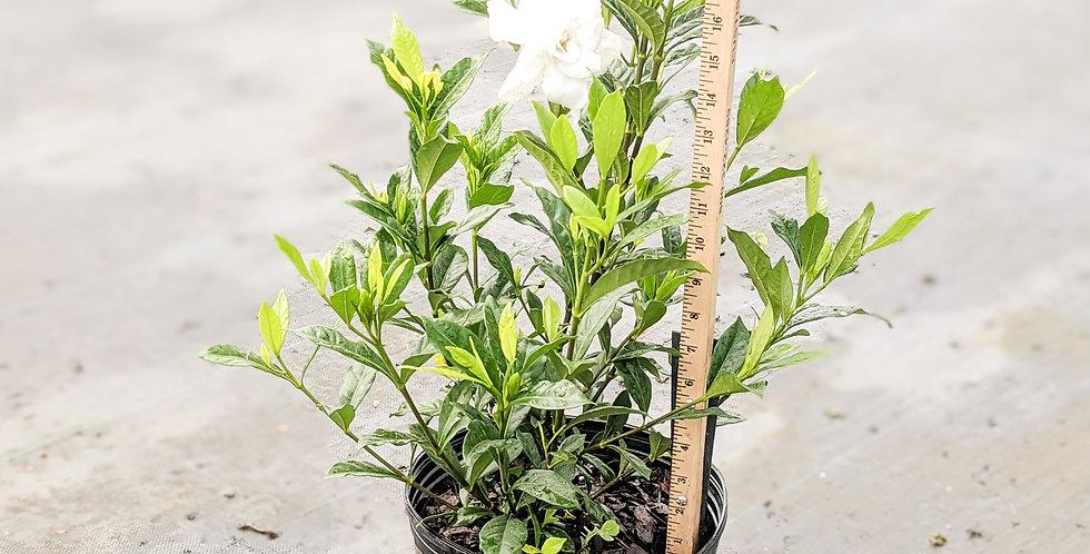 August Beauty Gardenia - Gardenia jasminoides 'August Beauty'