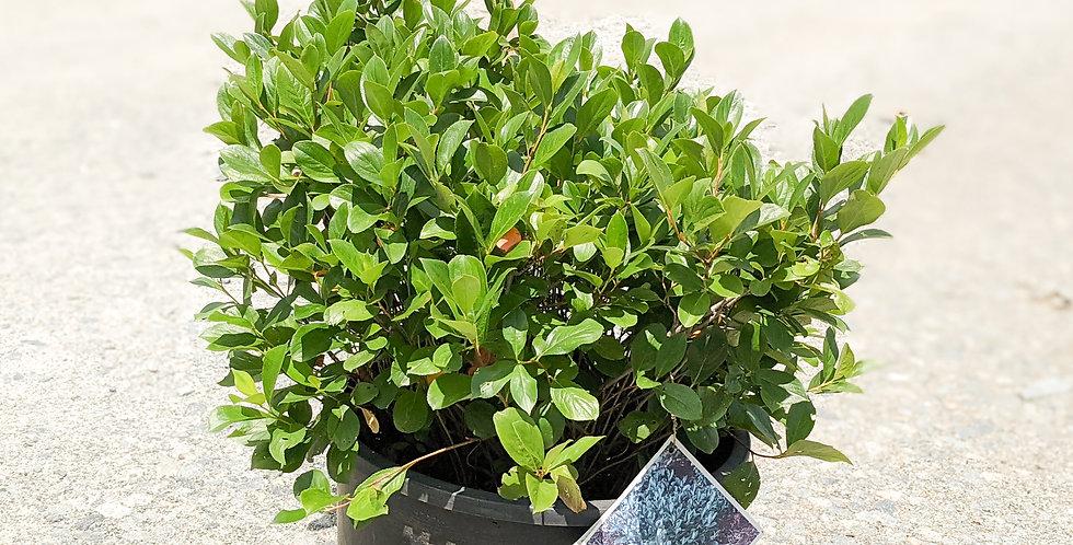 Low Scape Mound Chokeberry •Aronia melanocarpa