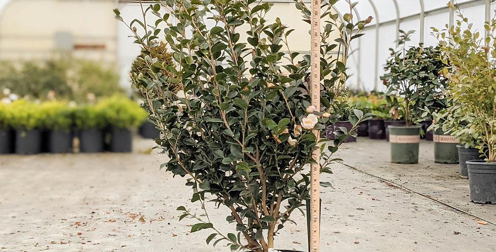 Setsugekka Camellia - Camellia sasanqua 'Setsugeka'
