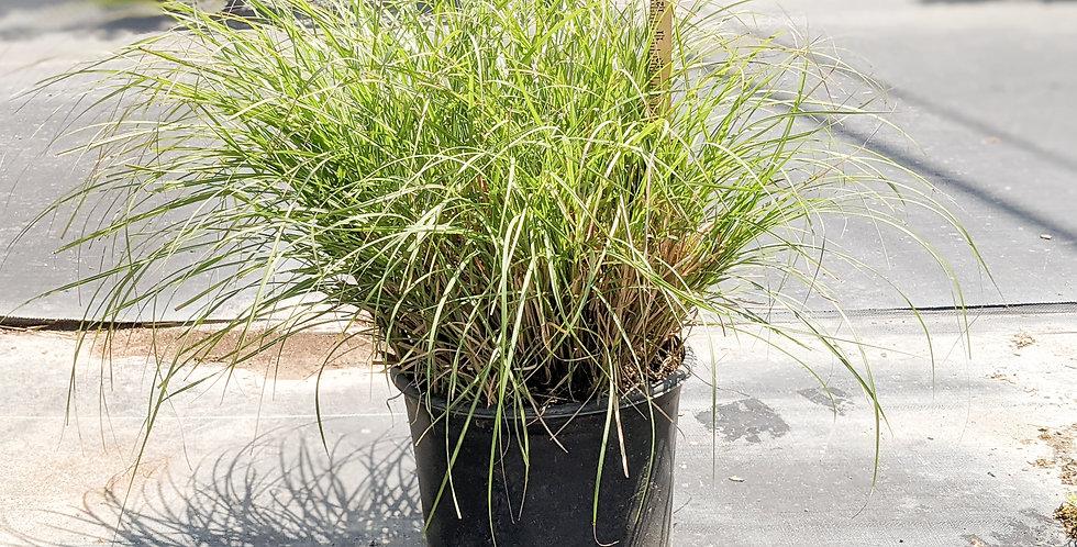 Adagio Maiden Grass - Miscanthus sinensis 'Adagio'