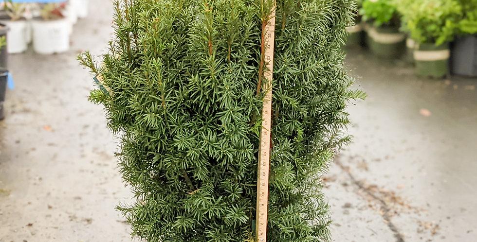 Hicks Yew - Taxus x media 'Hicksii'