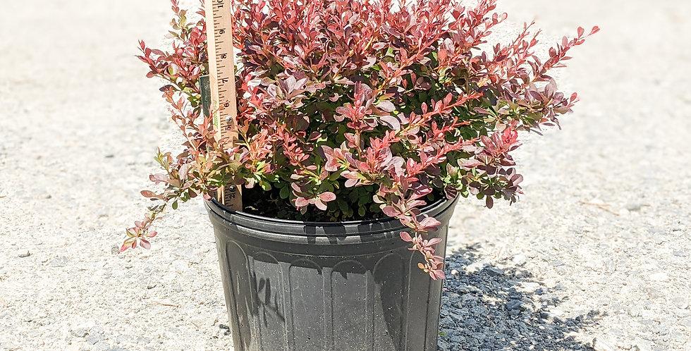 Crimson Pygmy Barberry -Berberis thunbergii 'Crimson Pygmy'