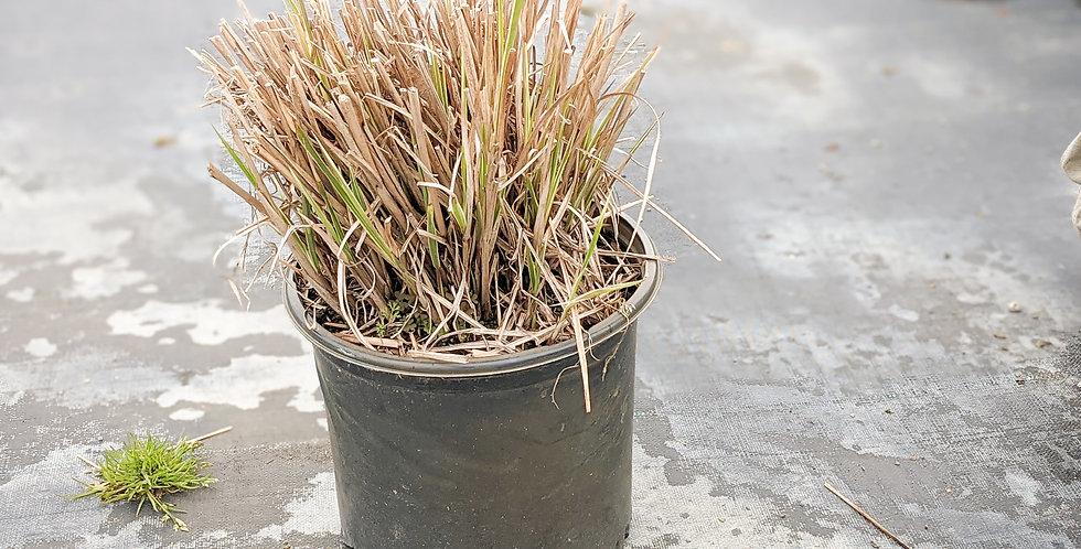 Zebra Grass •Miscanthus sinensis 'Zebrinus'
