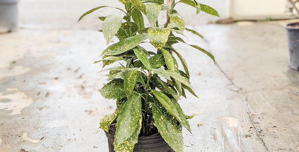 Gold Dust Variegated Aucuba •Aucuba japonica 'Variegata'