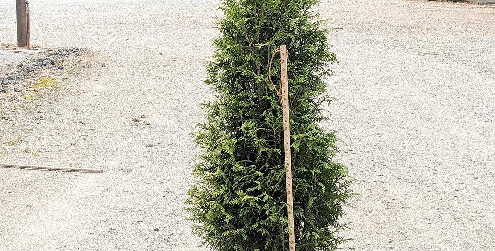 Tiny Tower Arborvitae•Thuja x 'MonRig'