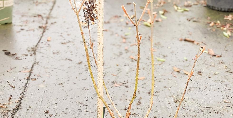 Pee Wee Hydrangea - Hydrangea quercifolia 'Pee Wee'