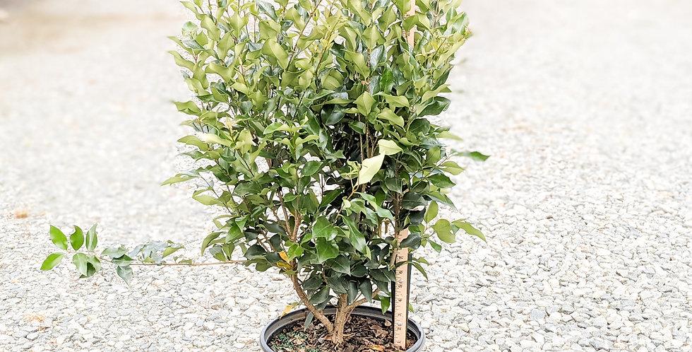 Ligustrum Recurve (Privet) -Ligustrum japonicum 'Recurvifolium'