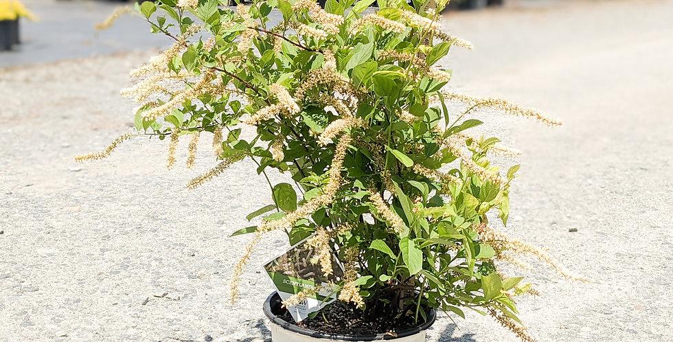 Scentlandia Sweetspire -Itea virginica 'SMNIVDFC'