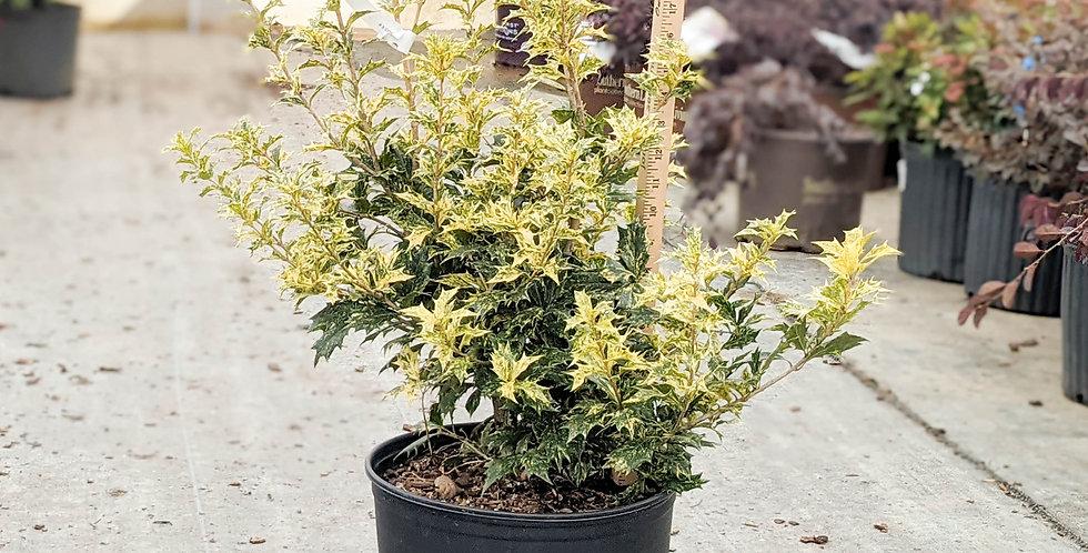 Goshiki Variegated Osmanthus • Osmanthus heterophyllus 'Goshiki'