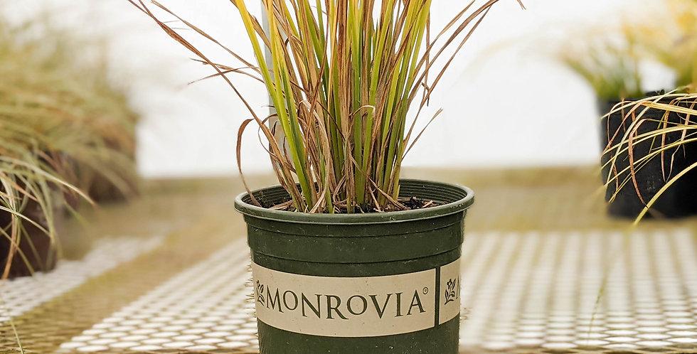 Bowles Golden Sedge - Carex elata 'Aurea'