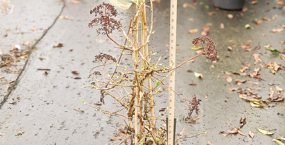 Climbing Hydrangea • Hydrangea anomala petiolaris