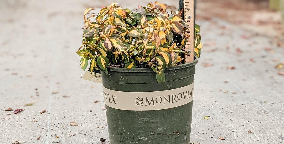 Moonshadow Wintercreeper • Euonymus fortunei 'Moonshadow'