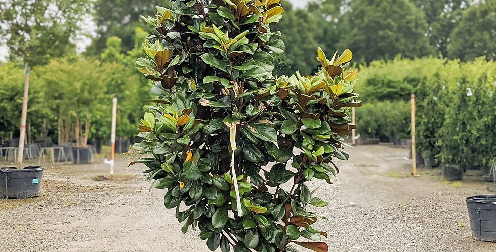 Teddy Bear Magnolia -Magnolia grandiflora 'Southern Charm'