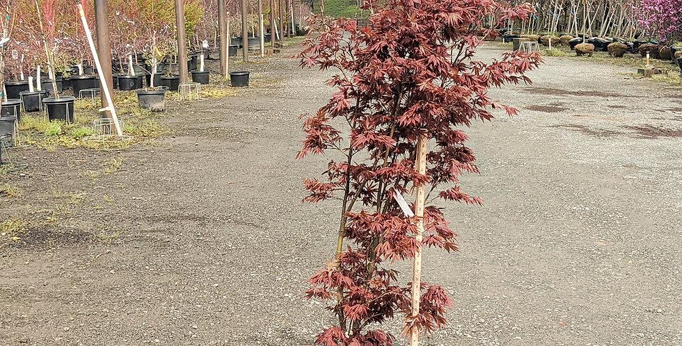 Pixie Japanese Maple •Acer palmatum 'Pixie'