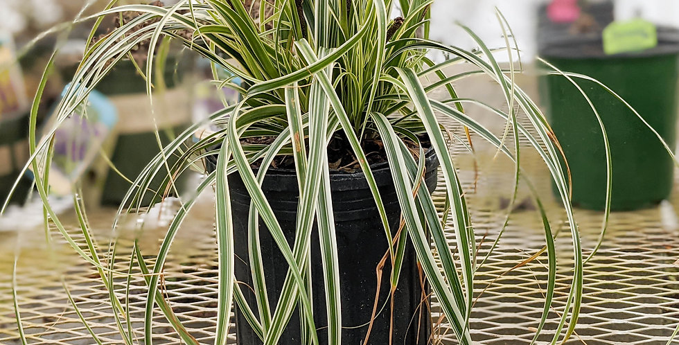 Carex Feather Falls Ornamental Grass •