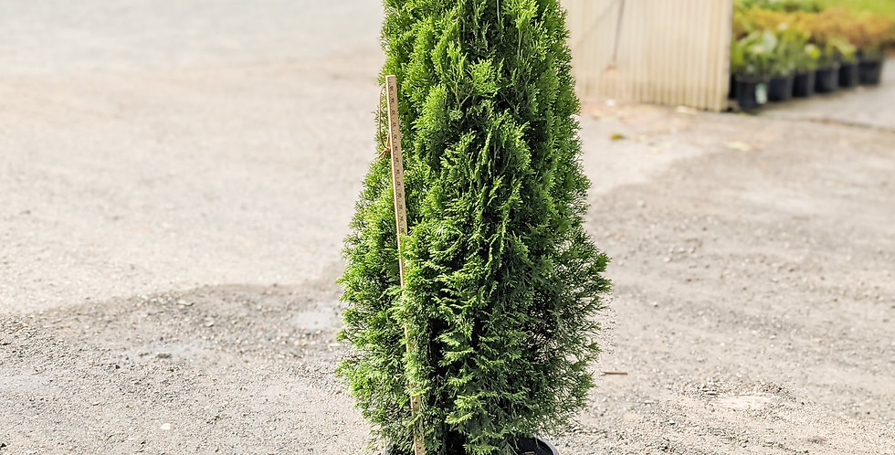 Emerald Green Arborvitae -Thuja occidentalis 'Smaragd'