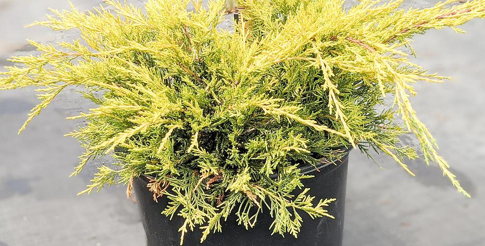 Gold Lace Juniper •Juniperus chinensis 'Gold Lace'