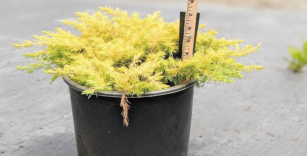 Shore Juniper •Juniperus rigida subsp. conferta 'All Gold'