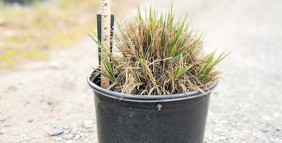 Cassian Fountian Grass •Pennisetum alopecuroides 'Cassian'