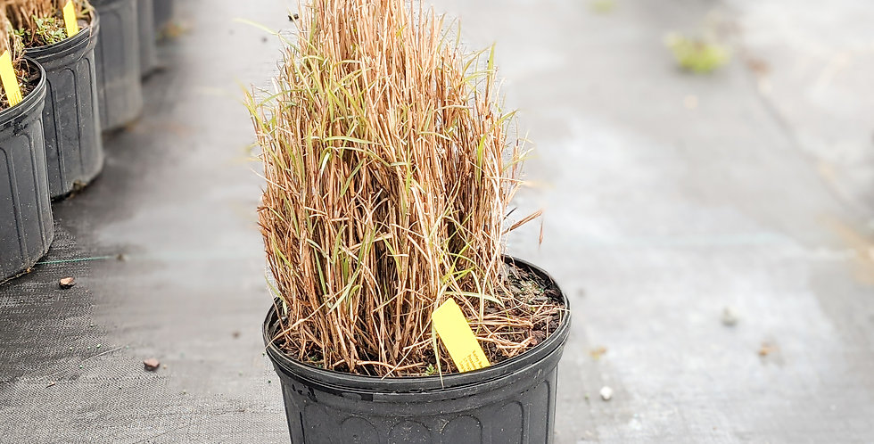 Karley Rose Fountain Grass •Pennisetum orientale 'Karley'
