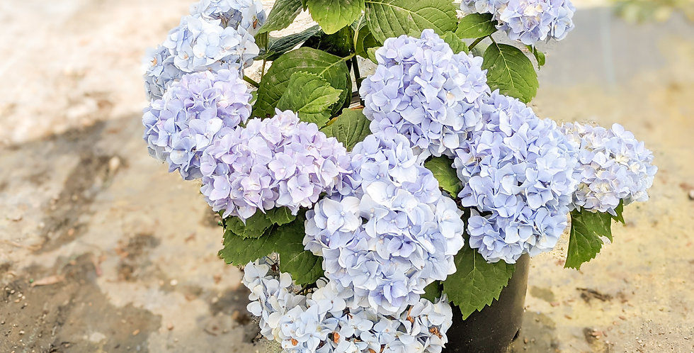 Nikko Blue Hydrangea - Hydrangea macrophylla 'Nikko Blue'