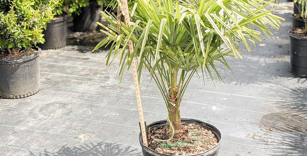 Windmill Palm •Trachycarpus fortunei