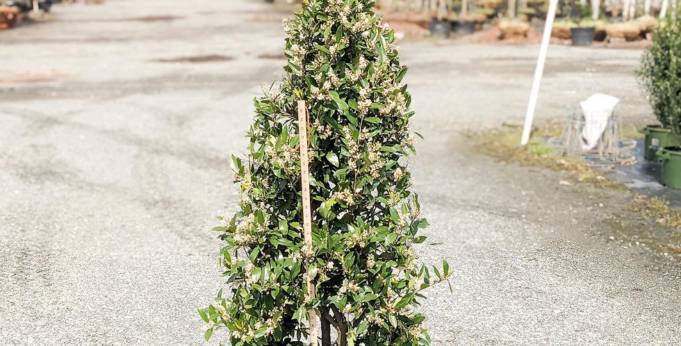 Bright 'N Tight Carolina Laurel •Prunus caroliniana 'Monus'