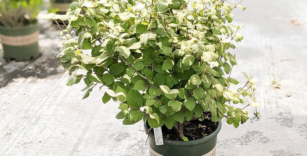 Korean Spice Viburnum -Viburnum carlesii