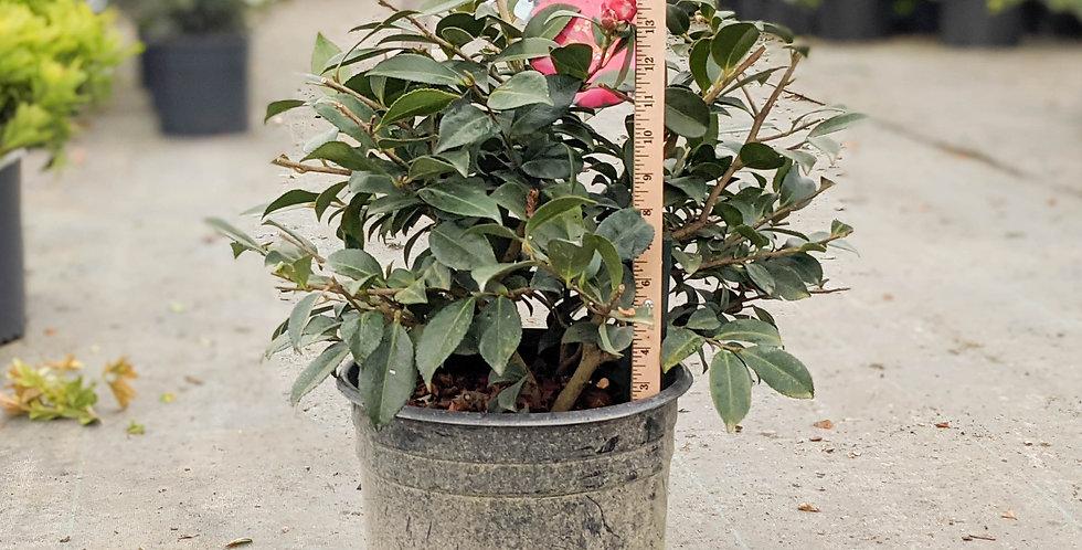 Hot Flash Camellia • Camellia sasanqua'tdn 1116'PP14213