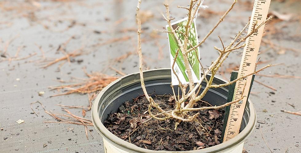 Little Lime Hydrangea • Hydrangea paniculata 'Little Lime'
