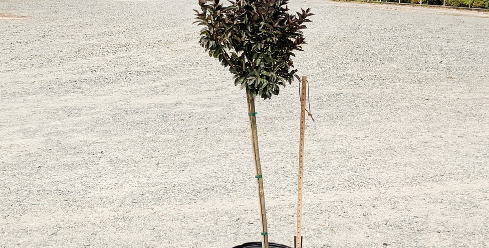Dynamite Crape Myrtle •Lagerstroemia indica 'Whit II'