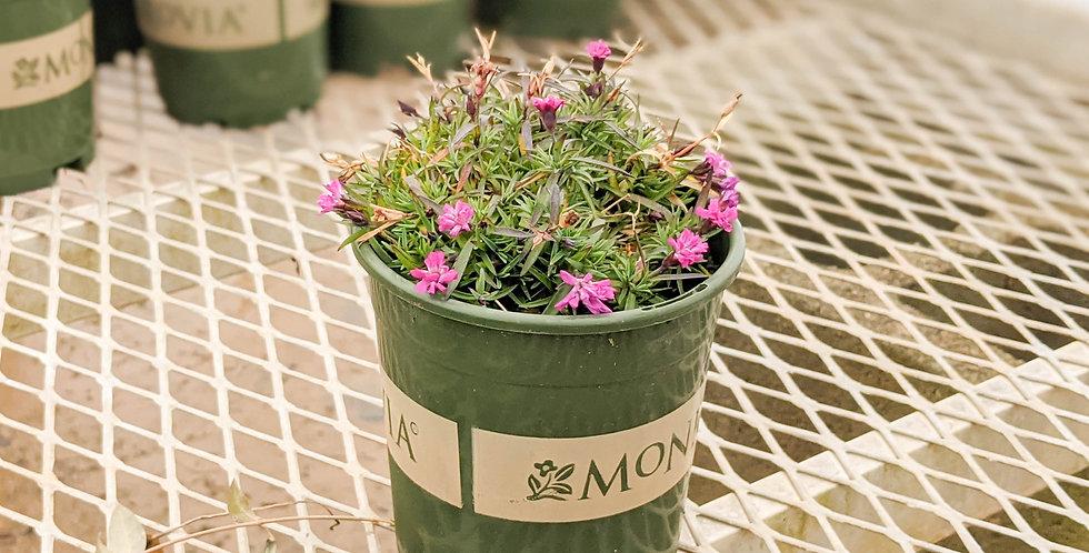 Mountain Frost Pink Pom Pom Dianthus • Dianthus x 'KonD1014K3' PPAF
