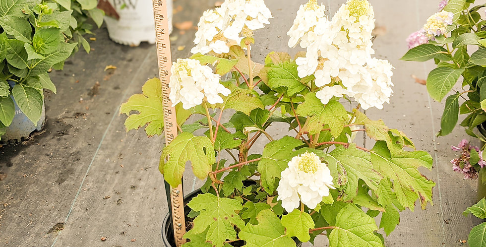 Ruby Slippers Oakleaf Hydrangea - Hydrangea quercifolia 'Ruby Slippers'