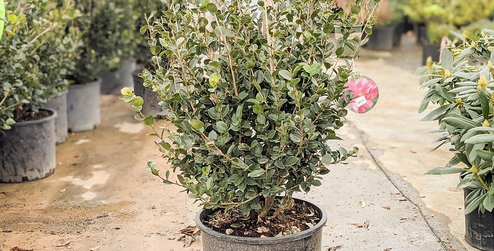 Rose of Autumn Camellia - Camellia sasanqua 'Rose of Autumn'