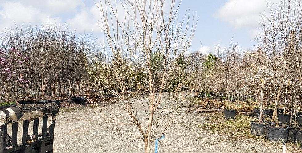 Appalachian Snow Dogwood •Cornus florida 'Appalachian Snow'