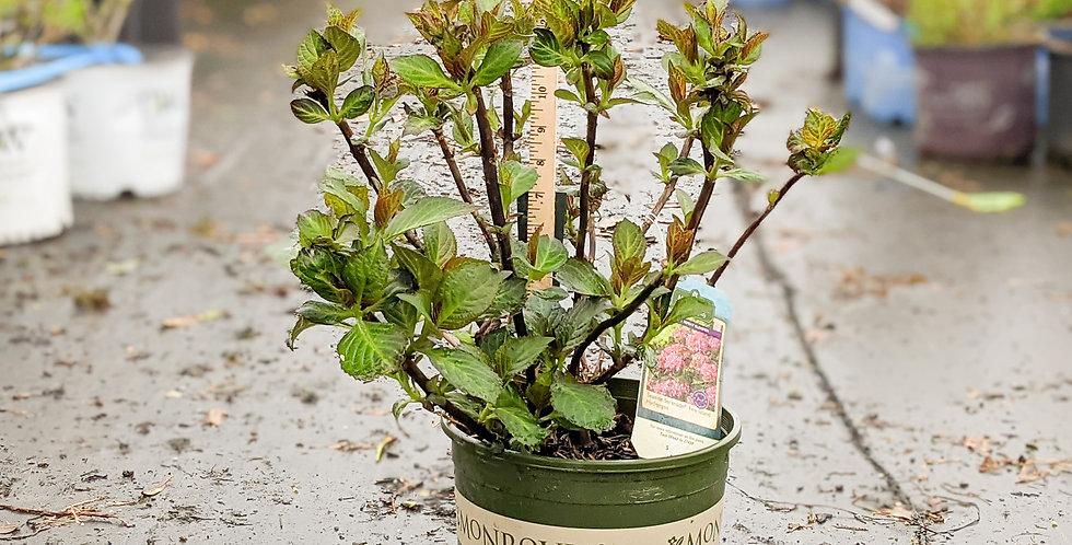 Seaside Serenade Fire Island Hydrangea • Hydrangea macrophylla 'HORTFIRE'