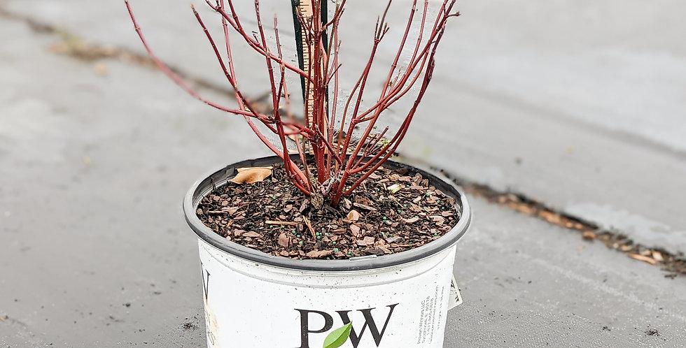 Arctic Fire Red Dogwood • Cornus stolonifera 'Farrow'