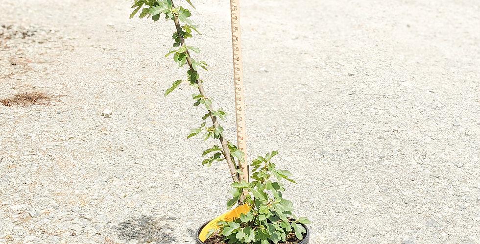 Brown Turkey fig tree •Ficus carica 'Brown Turkey'