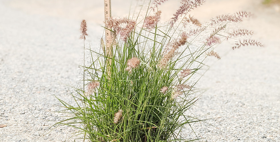 Karley Rose Fountain Grass -Pennisetum orientale 'Karley'
